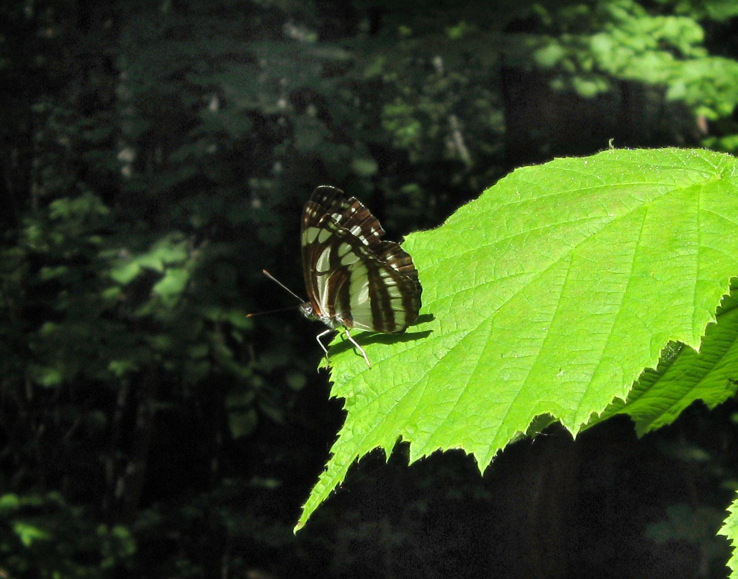 Пеструшка темнокрылая (Neptis sappho) Автор: Олег Селиверстов