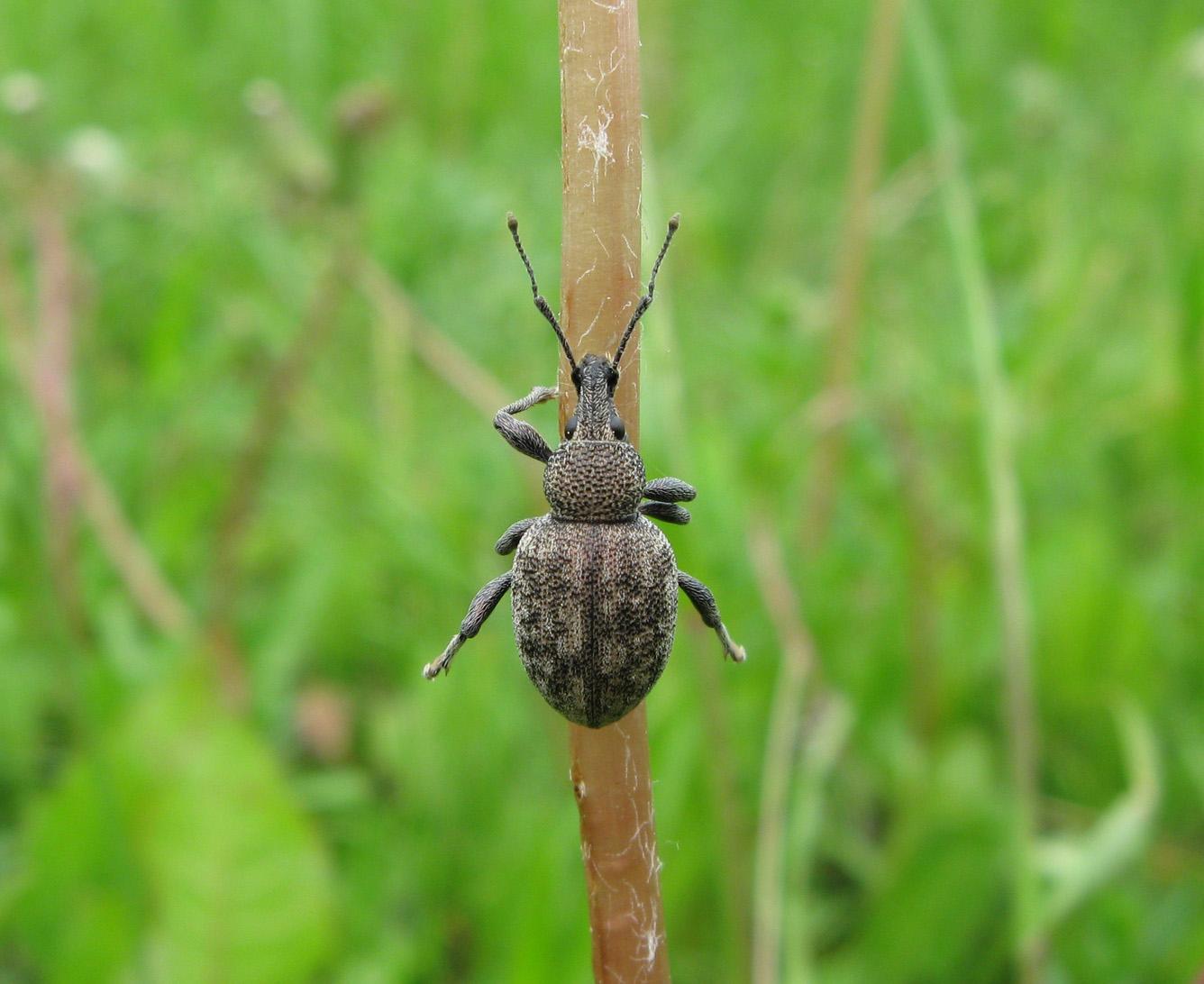 Скосарь люцерновый Otiorhynchus ligustici). Автор фото: Олег Селиверстов