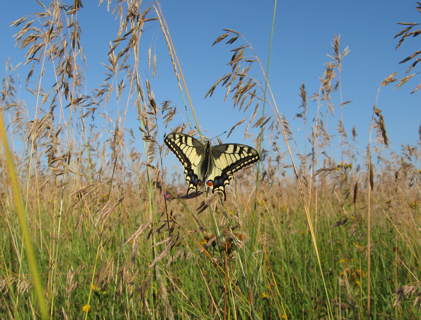 Махаон (Papilio machaon). Национальный парк «Нижняя Кама». Автор фото: Олег Селиверстов