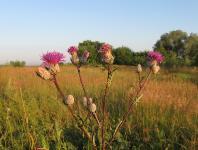 s:травянистые,c:светло-розовые,c:розовые,b:прямостоячий,s:многолетние,f:семянка