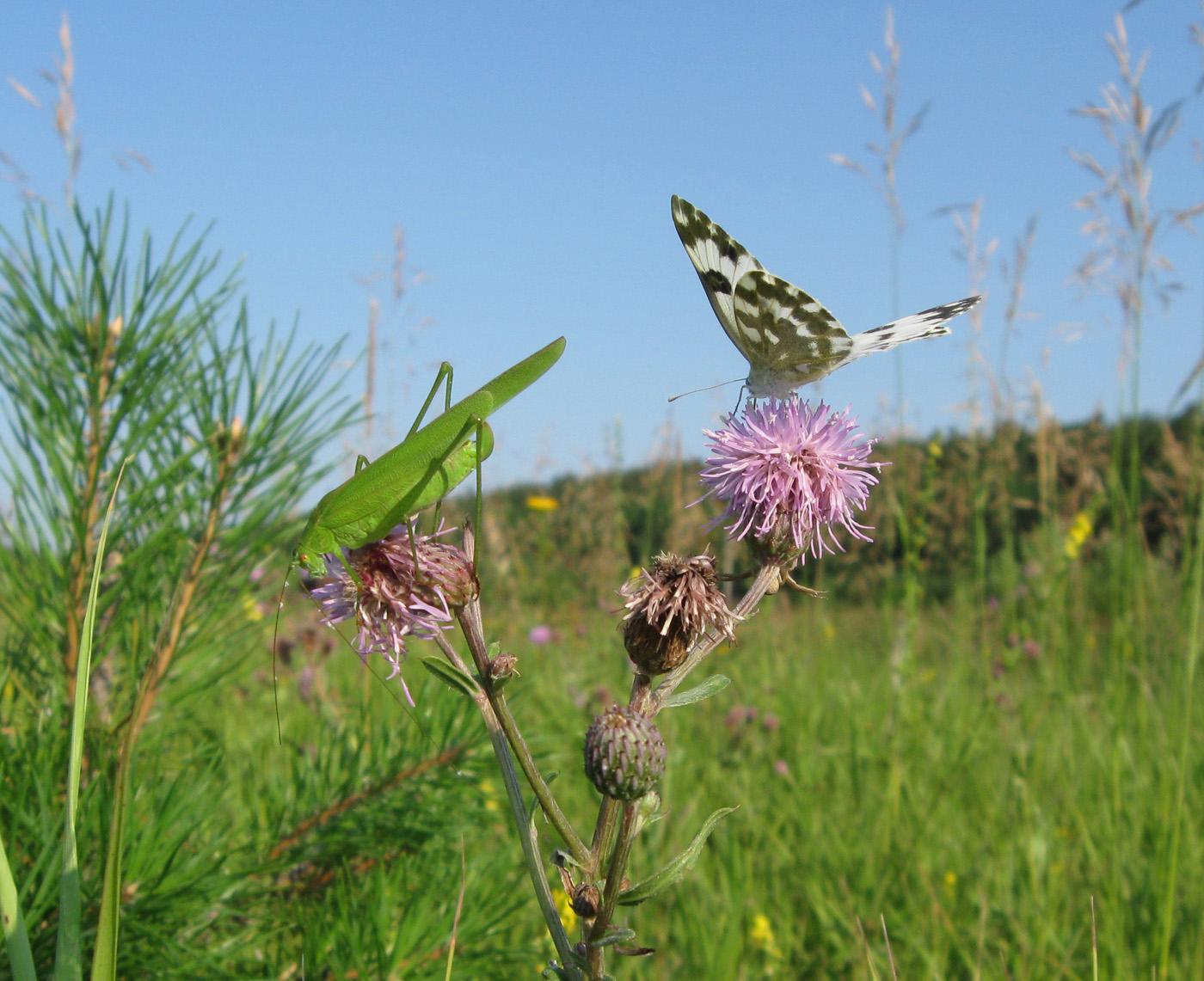 Пластинокрыл обыкновенный (Phaneroptera falcata). Автор: Олег Селиверстов