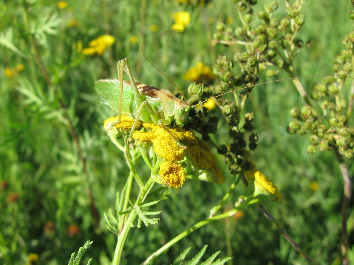 Кузнечик зелёный (Tettigonia viridissima) Автор: Олег Селиверстов