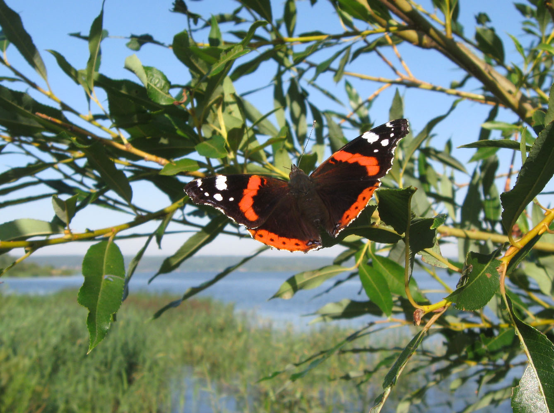 Адмирал (лат. Vanessa atalanta) — дневная бабочка из семейства нимфалид (Nymphalidae). Размах крыльев достигает 5 — 6,5 см. Автор фото: Олег Селиверстов
