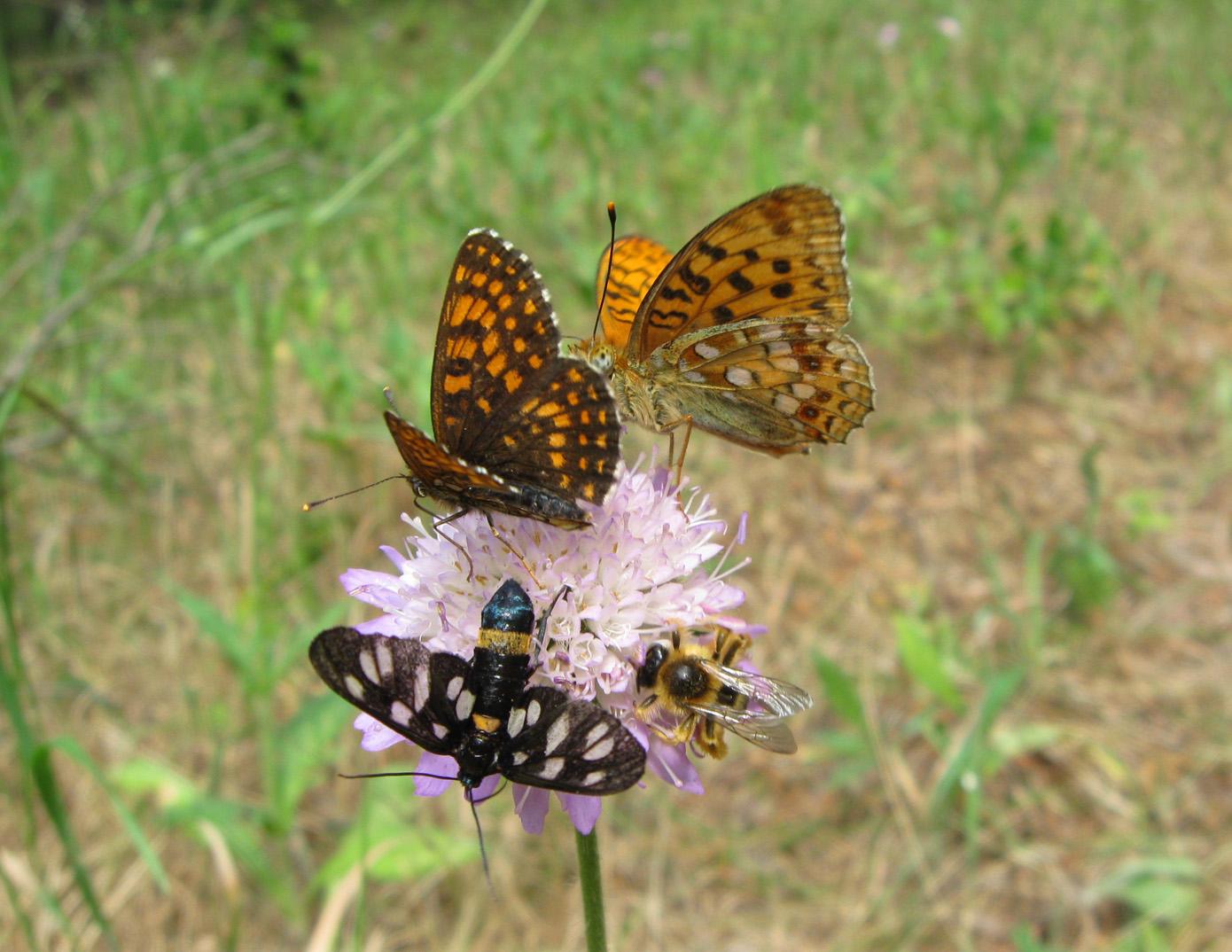 Бабочки на короставнике. Автор фото: Олег Селиверстов