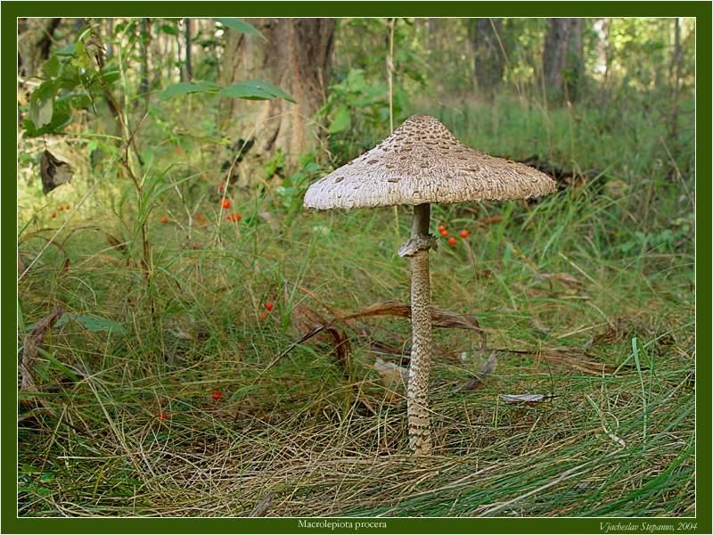 Грибы калужской области гриб зонтик