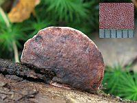Fomitopsis rosea