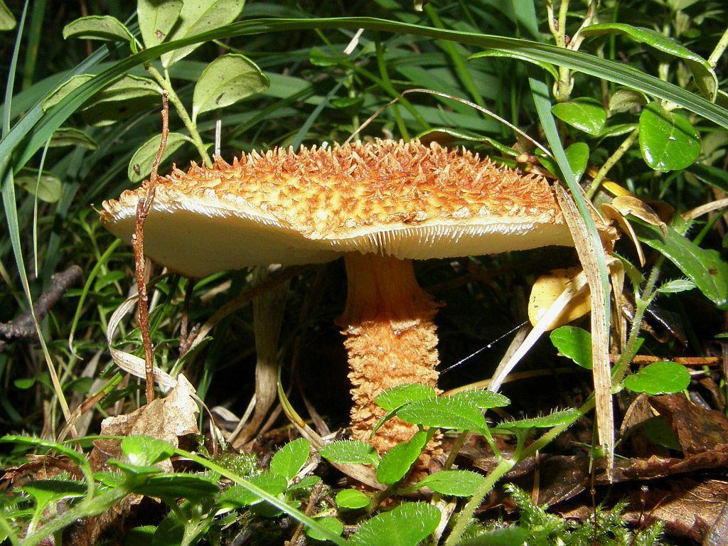 Чешуйница древесинная (Amylolepiota lignicola); Фото Лианы Варавской