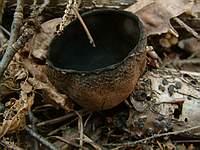 Urnula craterium