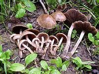Psathyrella sp
