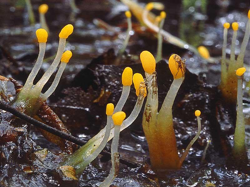 Митрула изящная (Mitrula elegans); Фото Константина Коржавина