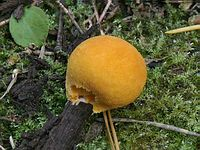 f:шарообразные,c:желтые,s:гастеромицеты,c:F0B030,с цветопробами