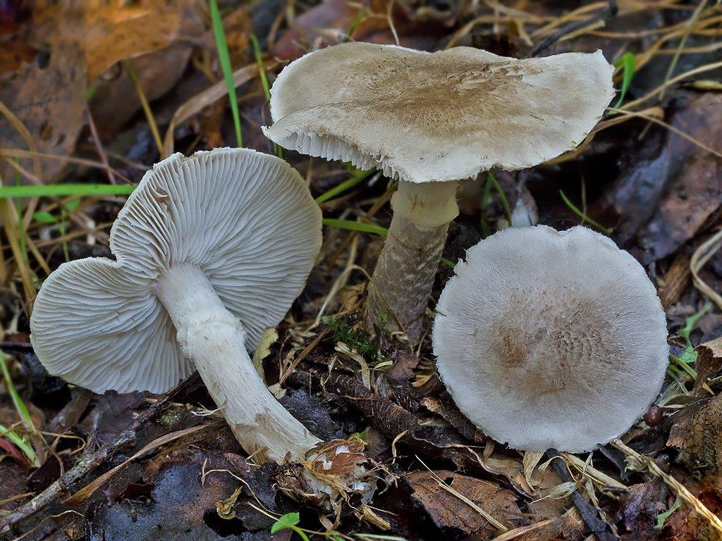 Рядовка опоясанная (Tricholoma cingulatum); Фото Елены Лукашиной