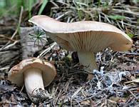 Tricholoma populinum