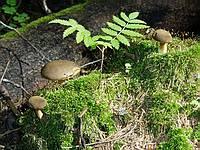 Xerocomus subtomentosus