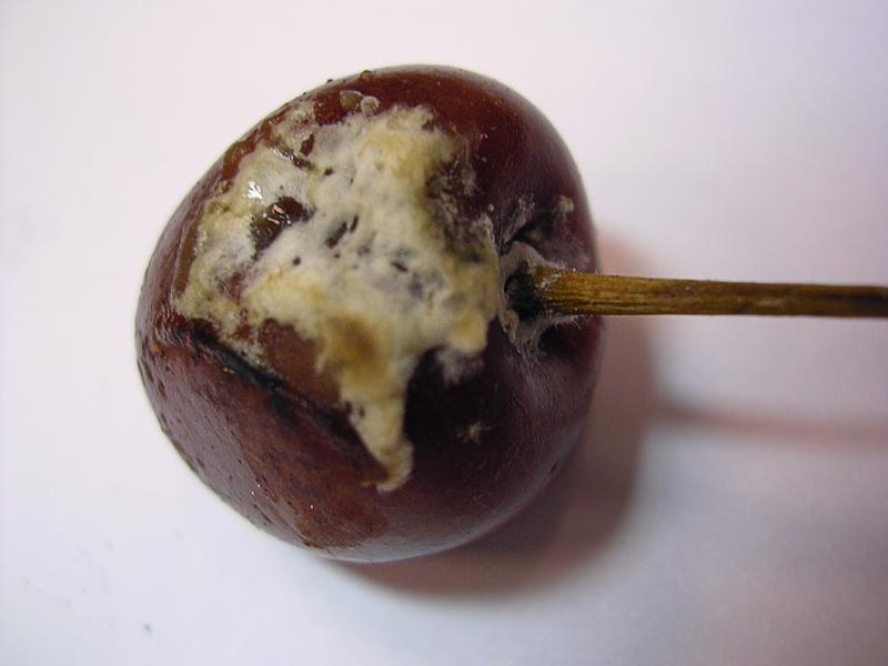 Что делать из вишни если она забродила