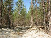 Whitemoss forest