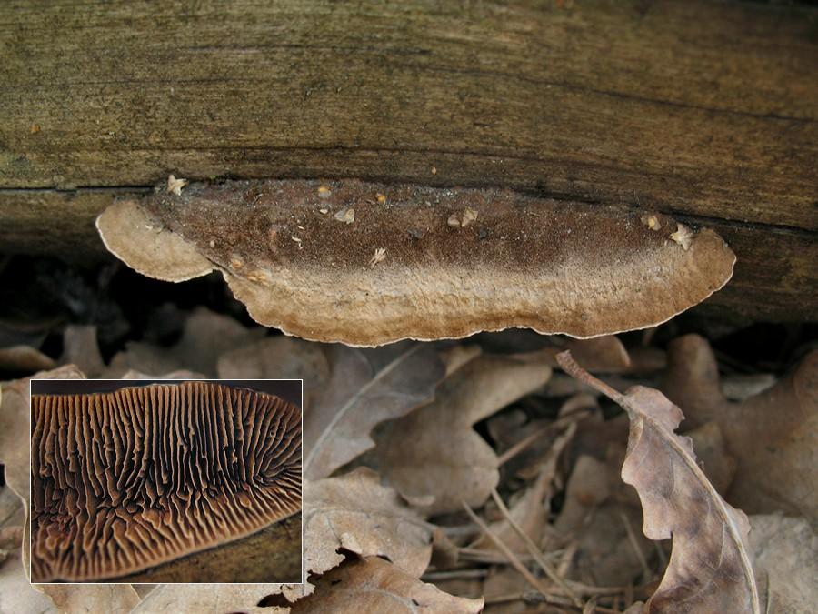 Глеофиллум пихтовый  (Gloeophyllum abietinum); Фото Татьяны Светловой