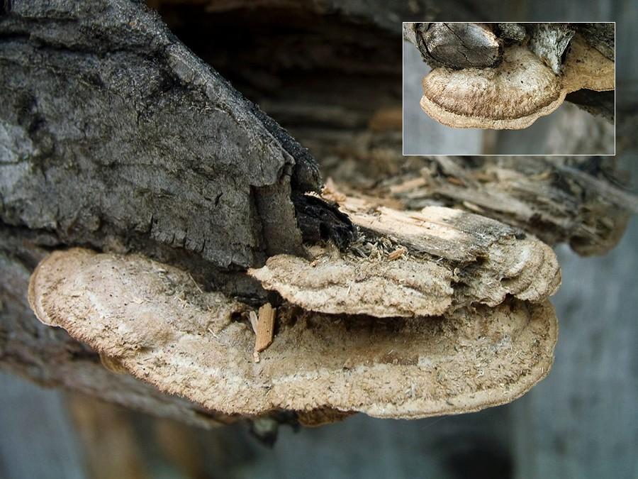 Глеофиллум бревенчатый (Gloeophyllum trabeum); Фото Татьяны Светловой