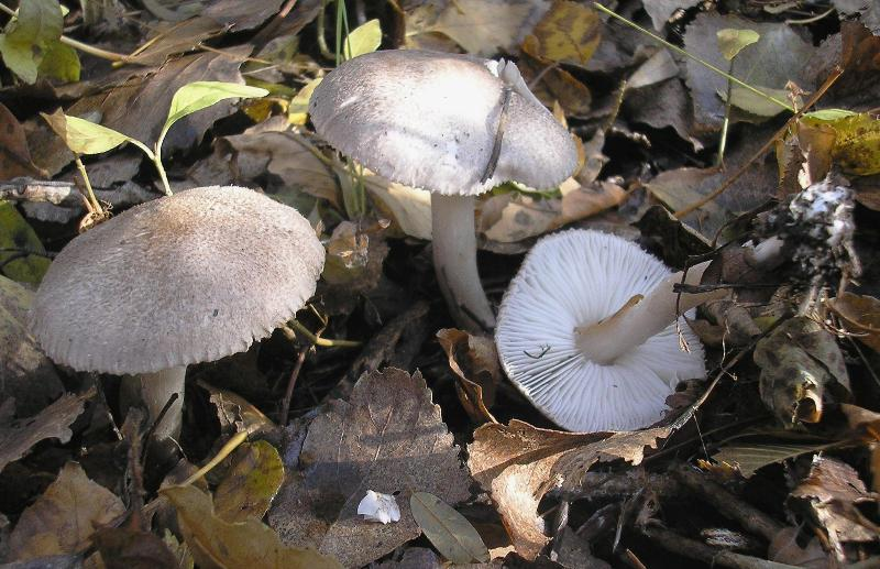 Tricholoma scalpturatum Автор фото: Олег Кесслер