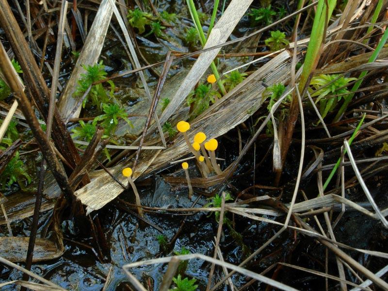 Митрула болотная (Mitrula paludosa); Фото Ольги Морозовой