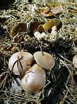 Козляк (Suillus bovinus)