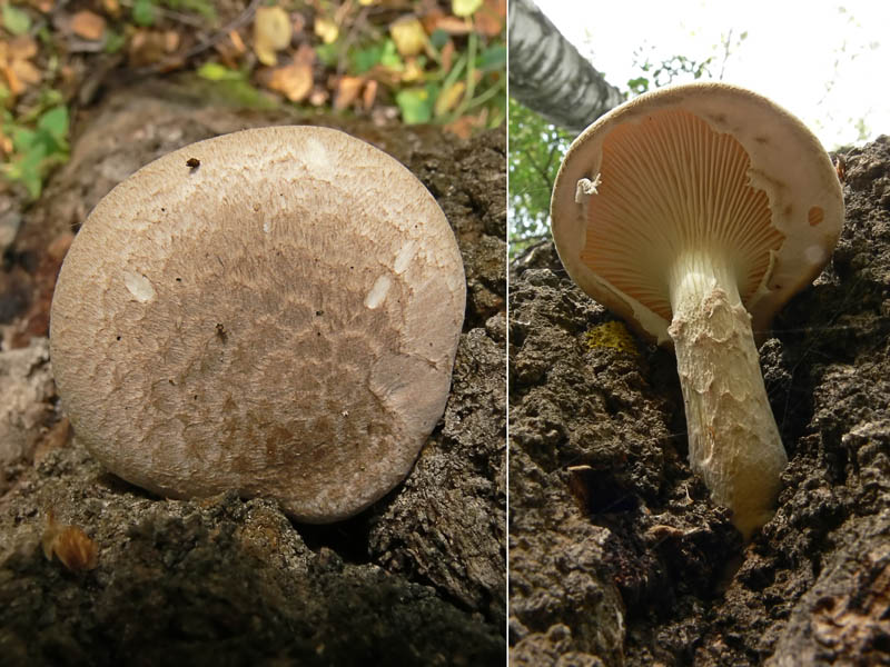 Come cucinare funghi pleurotus