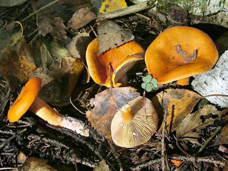 Lactarius mitissimus (млечник неедкий)