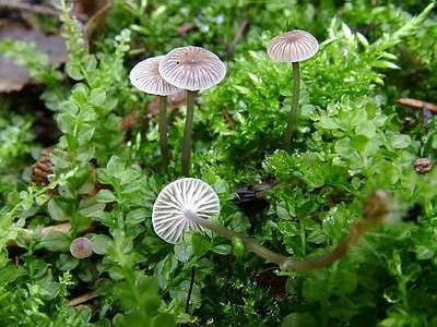 mycoweb.narod.ru/fungi/Submitted/SJG2/Mycena_vulgaris_1_JS20040911_med.jpg