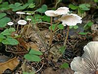 s:пластинчатые,d:на остатках грибов,c:кремовые,l:приросшие зубцом,l:редкие