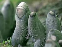 s:аскомицеты,c:черные,f:булавовидные,i:деревообитающие,i:несъедобные,поверхность бугорчатая