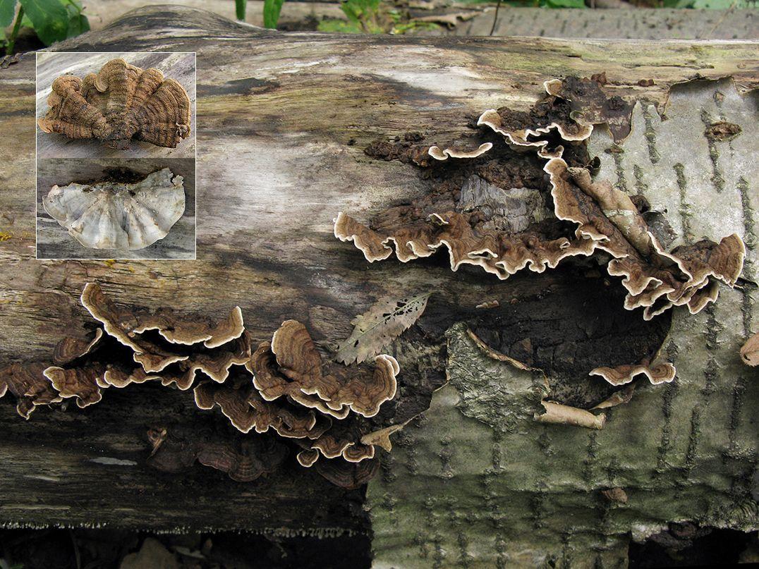 Лакситекстум двуцветный (Laxitextum bicolor); Фото Татьяны Светловой