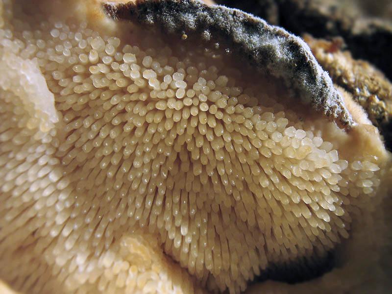 Climacodon septentrionalis. Автор фото:Татьяна Светлова