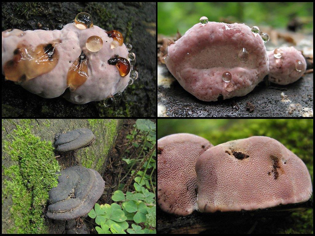 Трутовик розовый (Fomitopsis rosea) Автор фото: Татьяна Светлова