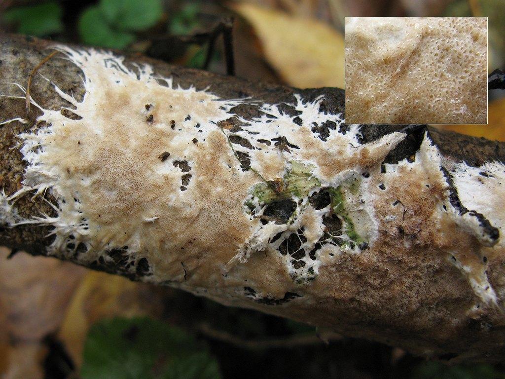 Поротелеум бахромчатый (Porotheleum fimbriatum); Фото Татьяны Светловой