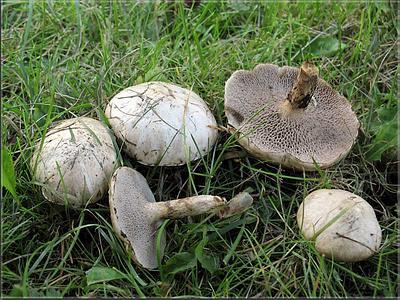 http://mycoweb.narod.ru/fungi/Submitted/STV/Suillus_aeruginascens_1_STV_20080801_med.jpg