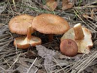 s:пластинчатые,l:низбегающие,c:желто-коричневые,c:коричневые,n:коричневые,c:D09070,c:D0B090,c:F0B090,n:905010,n:905030,n:B07050,c:B07050,с цветопробами
