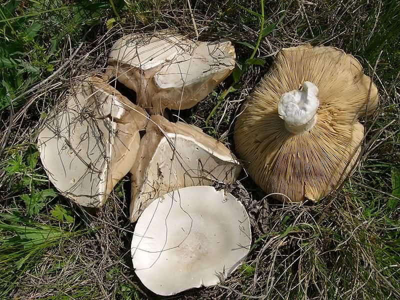 Leucopaxillus lepistoides Автор фото: Ирина Уханова