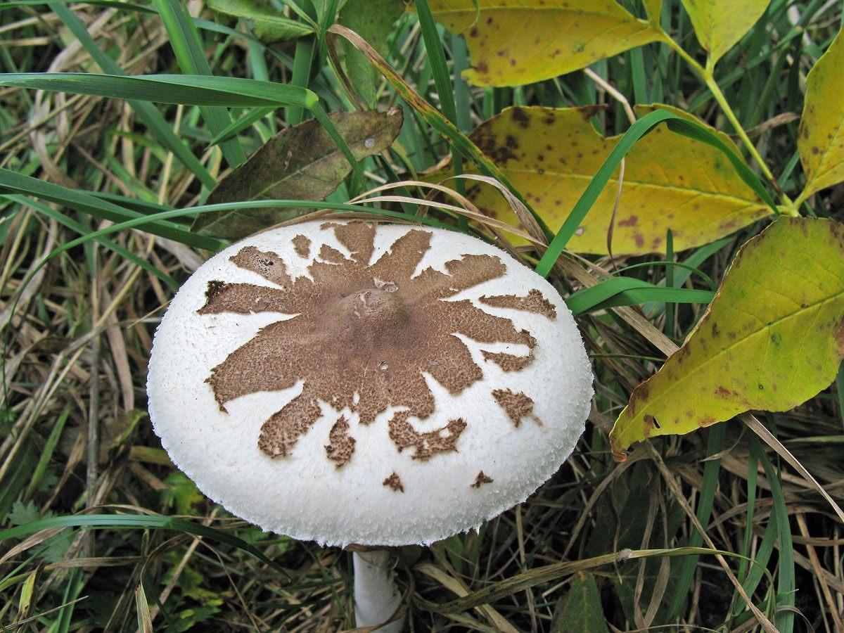 Гриб-зонтик Конрада (Macrolepiota konradii ); Фото Ирины Ухановой