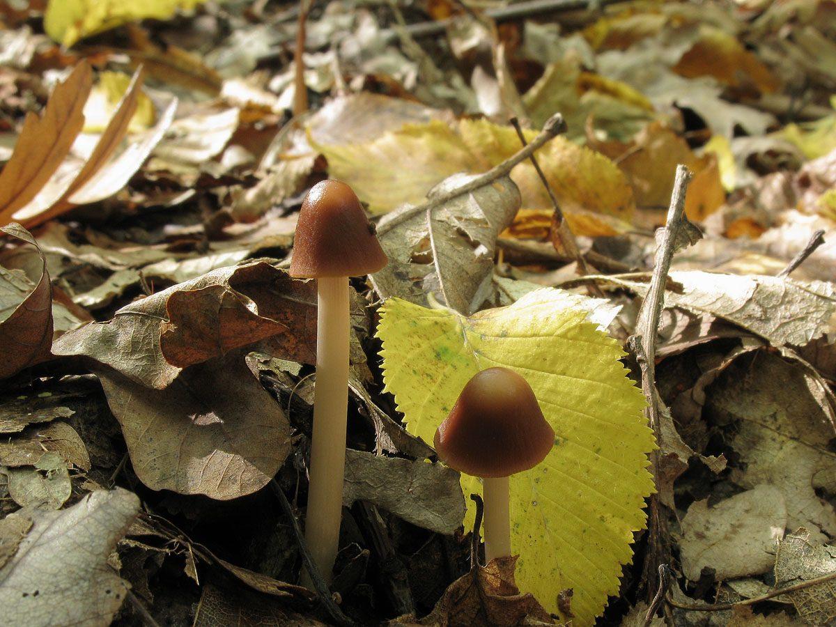 Синоним: Parasola conopilis Автор фото: Ирина Уханова