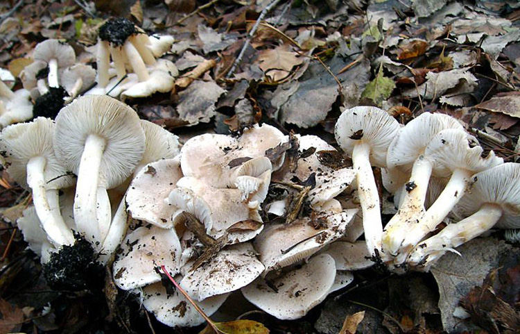 Tricholoma scalpturatum. Автор фото: Ирина Уханова