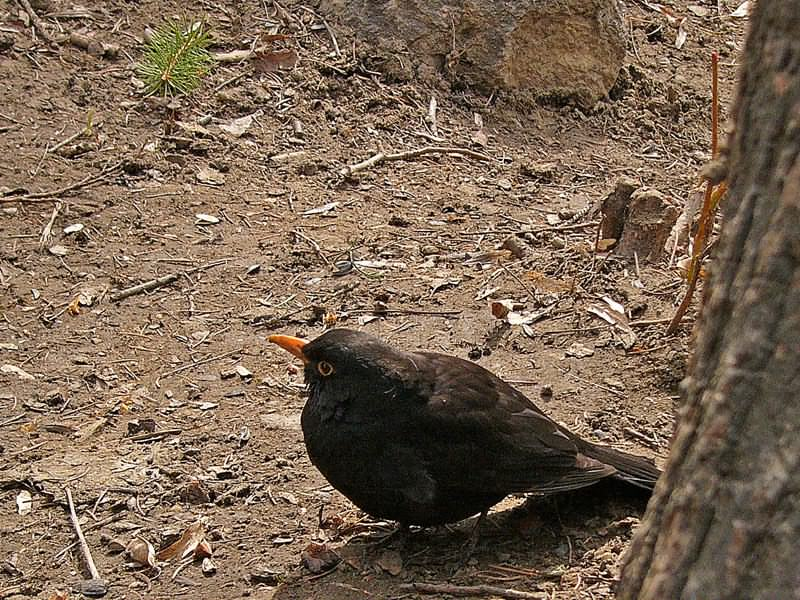 Чёрный дрозд (Turdus merula). Автор фото:Ирина Уханова
