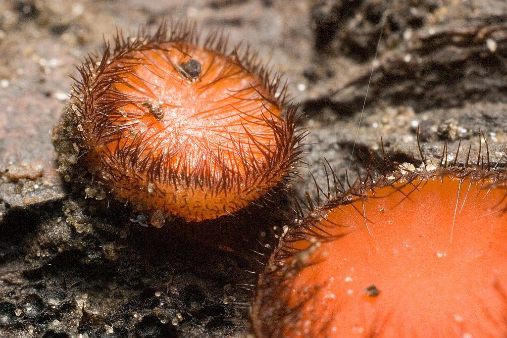 Скутеллиния блюдцевидная (Scutellinia scutellata)